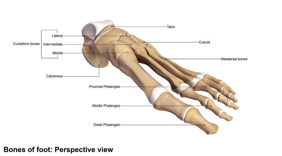 types of bones feet